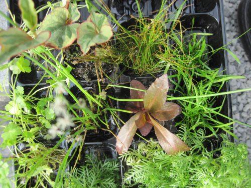 Ufer-Wasserpflanzen-Mix, 60 St.