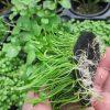 Unterwasserpflanzen-Mix