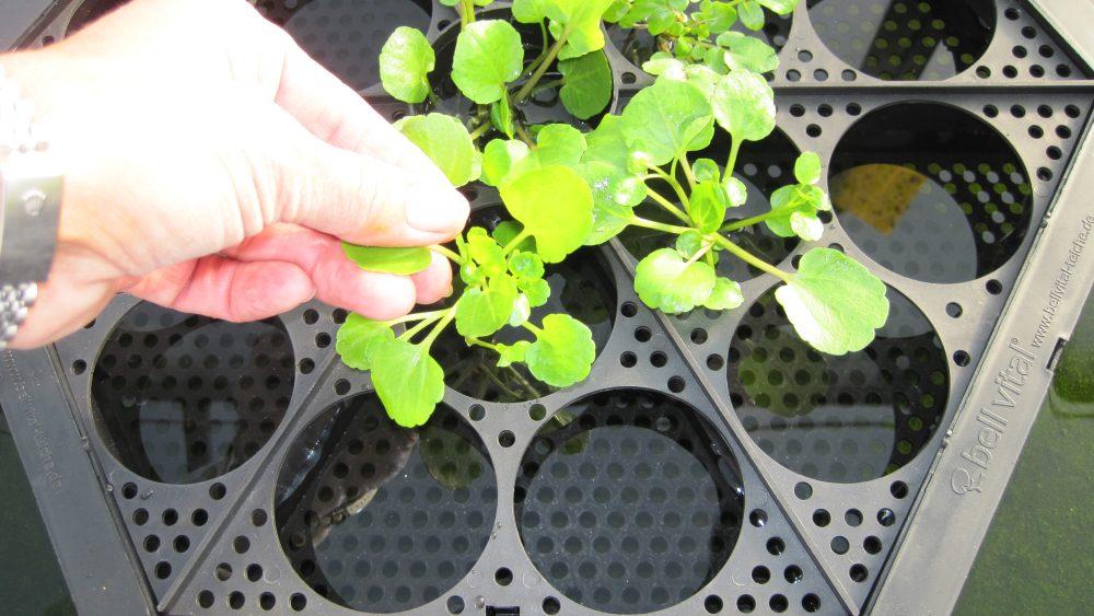 Pflanzensprossen für die IslaPlanta Schwimminsel